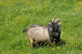 Brown and black male goat eating grass in bright simmer day Royalty Free Stock Image