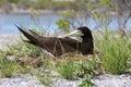 Brown Booby Bird.