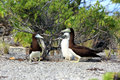 Brown  Booby Bird's Family. Royalty Free Stock Photo