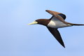Brown booby sula leucogaster in japan Stock Photos