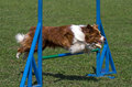 Brown border collie jumps hurdles Royalty Free Stock Images