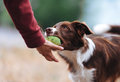 Brown border collie puppy brought the ball hostess and lays down his hand Royalty Free Stock Photo