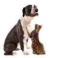 Brown boxer and bengal cat Stock Photo