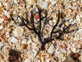 Brown branched seaweed washed up on a shell beach. Royalty Free Stock Photo