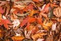 Orange and brown bright fall colored leaves during autumn. Royalty Free Stock Photo