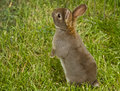 Brown Bunny Royalty Free Stock Photo