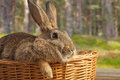 Brown bunny in a basket Royalty Free Stock Photo