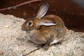 Brown bunny hare lives in a cage in a zoo Royalty Free Stock Photo