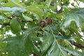 Brown Bur Oak Acorns on the tree Royalty Free Stock Photo