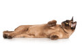 Brown burmese cat beautiful on white Royalty Free Stock Images
