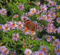 Brown butterfly on a daisy beautiful flower Royalty Free Stock Image