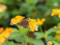 Brown Butterfly is Nectar Royalty Free Stock Photo