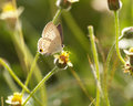 Brown Butterfly and Spanish needle flowers Royalty Free Stock Photo