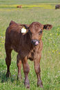 Brown calf a in a meadow Royalty Free Stock Photo
