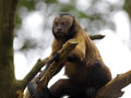 Brown Capuchin Monkey Royalty Free Stock Photos