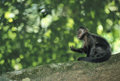 Brown Capuchin monkey. Royalty Free Stock Photo