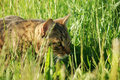 Brown cat on green grass hunting for the mouse Royalty Free Stock Photos