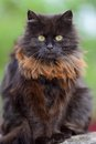 Brown cat portrait Royalty Free Stock Photo
