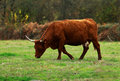 Brown cattle Stock Images