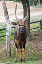 Brown chamois goat in zoo khao kiew thailand Royalty Free Stock Photography