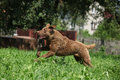 Brown chesapeake bay retriever running in garden Stock Photos