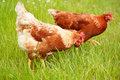 Brown chicken in grass domestic animal Royalty Free Stock Images
