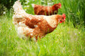 Brown chicken in grass domestic animal Stock Photo