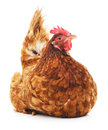 Brown chicken. Royalty Free Stock Photo