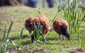 Brown chickens tree on outdoor green grass lawn background Stock Photos