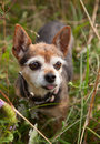 A brown chihuahua dog portrait Royalty Free Stock Photo