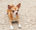 Brown chihuahua dog sitting Royalty Free Stock Photo