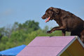 Brown Chocolate Lab at a Dog Agility Trial Stock Images