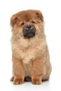 Brown Chow chow puppy Stock Photos