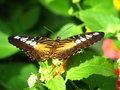 Brown Clipper Butterfly sucking nectar Royalty Free Stock Images