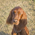 Brown cocker dog cute portrait with sunset light on a green summer grass background Royalty Free Stock Image
