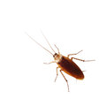 Brown cockroach isolated over white background Royalty Free Stock Photography