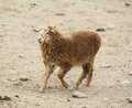 A brown color sheep lovely Stock Photos