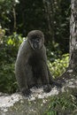 Brown or common woolly monkey lagothrix lagotricha single mammal on branch brazil Stock Photos