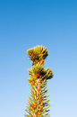 Brown conifer closeup of a tree in the autumn Royalty Free Stock Image