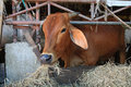 Brown cow chewing hay at cattle pen Royalty Free Stock Photography