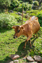 Brown cow is going down the hill manali kullu valley himachal pradesh india Royalty Free Stock Photo