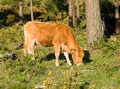 Brown cow grazing in a forest the north of spain galicia Stock Images