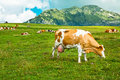 Brown cow grazing in mountains high on green meadow Royalty Free Stock Photography