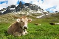 Brown cow on green grass pasture Royalty Free Stock Photo