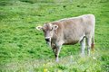 Brown cow on green grass pasture milck with grazing switzerland alpine mountains over blue sky Stock Images