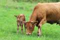 Brown cow with her calf on a green pasture Royalty Free Stock Photo