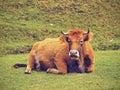 Brown cow in la arboleda near bilbao zugaztieta park recreational area valle de trapaga biscay basque country spain Stock Image