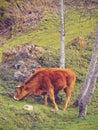 Brown cow in la arboleda near bilbao zugaztieta park recreational area valle de trapaga biscay basque country spain Royalty Free Stock Photo