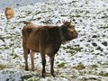 A brown cow in the mountains Royalty Free Stock Photo