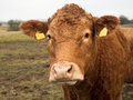 Brown cow portrait front Royalty Free Stock Photo